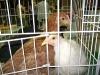 Buff_Orpington_-White_Leghorn_Chickens_fs