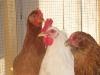 Buff_Orpington_Leghorn_Americona_Chickens_fs