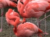 Flamingos.02_fs