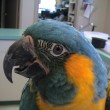 Blue-Throat-Macaw