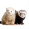 Ferrets: Insulinoma