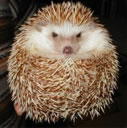 Information About Hedgehogs