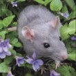 Care and Feeding of Rats