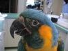 Blue-Throat_Macaw.lipoma._4_fs