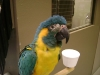 Blue-throated_Macaw_fs