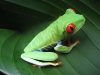 Costa_Rican_Frog_fs