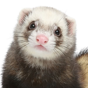 Why do ferretts lick thier urine