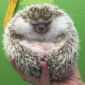 hedgehogs the essential guide to ownership care for your pet hedgehog care